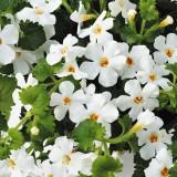 Бакопа ампельное растение Цветы белые США