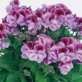 Аристо Кларина горшечный цветок