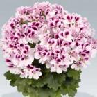 Аристо Петтикот горшечный цветок