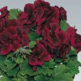 Аристо Шоко горшечный цветок