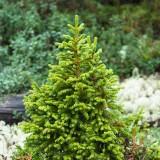 Ель сибирская, Picea obovata